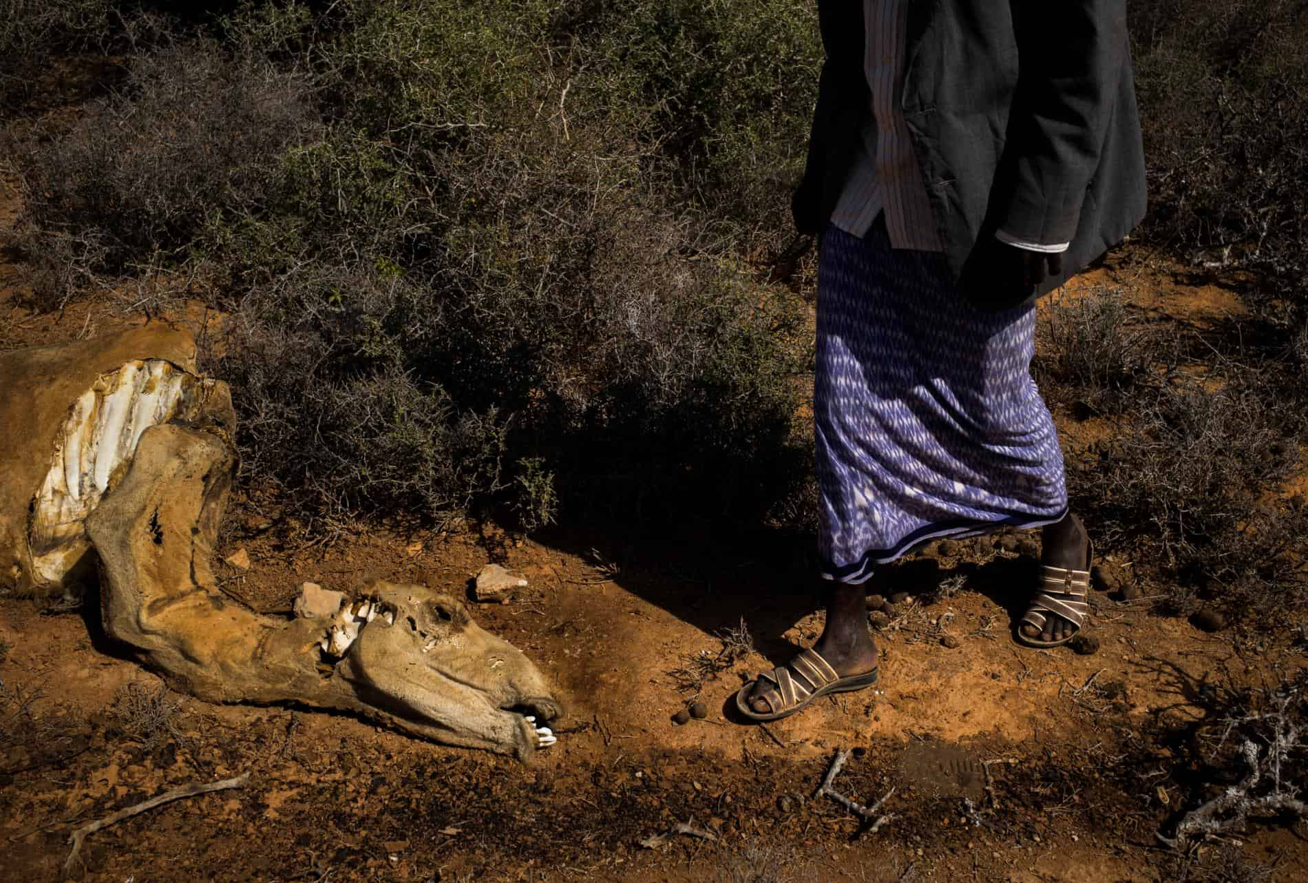 A village elder walks past a dead camel near Uusgure IDP camp, which holds 316 families who've come seeking respite from the drought. [Source: National Geographic]